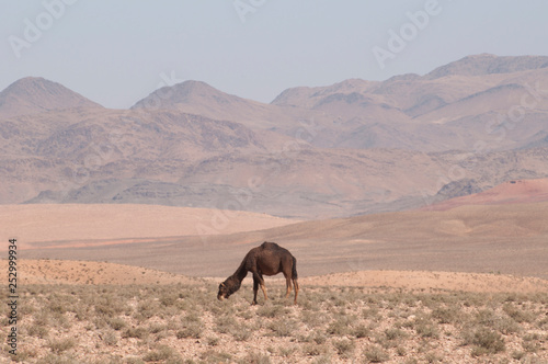 Photo sur Toile Elephant Desert camel