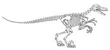 Velociraptor Skeleton, Velociraptor Fossil, Velociraptor Bones, Fossil Dinosaur, Vector Graphic To Design
