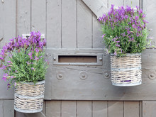 Lavender Flowers In Pot