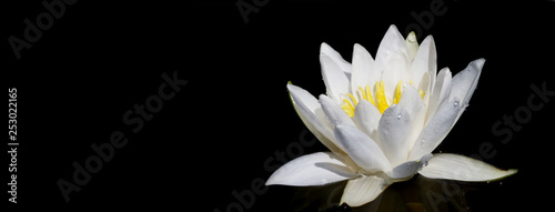 Staande foto Waterlelies Panoramic view of water white lily plant in the black background. Space for text