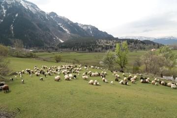 Fototapeta na wymiar herd of sheep in green meadow. artvin/turkey