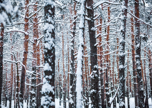 Pine forest in winter