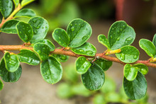 Cotoneaster Horizontalis Plant Leaves With Drops
