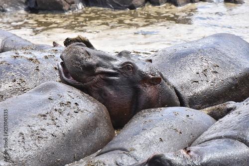 Photo  Hippopotamus in Serengeti National Park, Tanzania