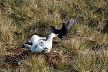 Prion Island South Georgia Islands, Wandering Albatross Nesting In The Grass With Petrel Encroaching