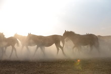 Wild Horses And Cowboys.kayseri Turkey