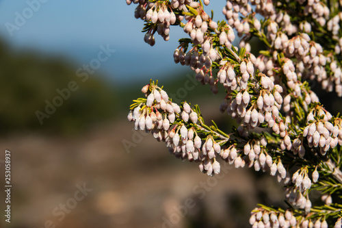 Tree Heath Flowers in Bloom in Winter Canvas Print