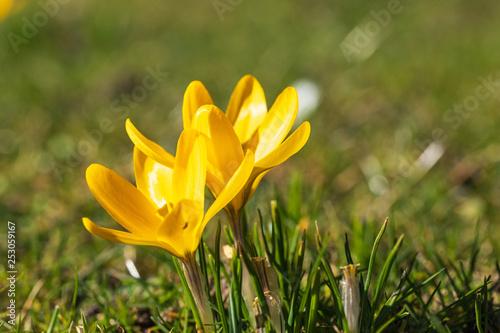 Fotografie, Obraz  Blühende gelbe Krokuse