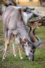 A Blesbok Antelope (Damaliscus Pygargus) Standing In Grass