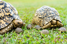 The Leopard Tortoise Family On The Grass Ground At The Park.