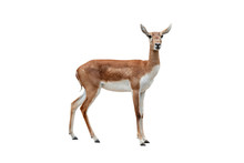 Antelope (Antilope Cervicapra) Isolated