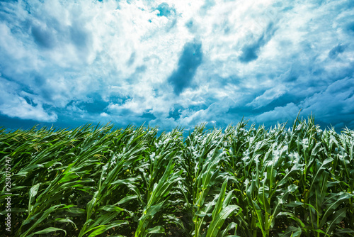 Fotomural Corn field and stormy sky