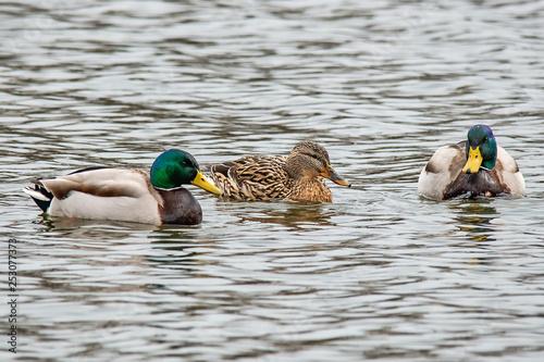 Fotografie, Obraz  Mallard duck (anas platyrhynchos)