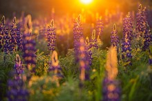 Blue Lupine Flowers At Sunset