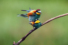 The European Bee-eater (Merops...