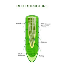 Root Structure. Plant Anatomy.