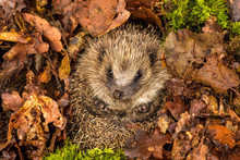 Hedgehog In Hibernation.  Wild, Native, European Hedgehog In Natural Woodland Habitat, Curled Into A Ball And Facing Forwards, Hibernating In Golden Brown Autumn Or Fall Leaves.  Horizontal.