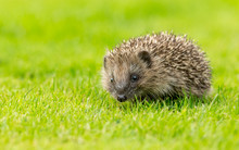 Hedgehog, Young, Wild, Native Hedgehog In Natural Garden Habitat On Green Grass Lawn And Facing Forwards.  Landscape, Horizontal