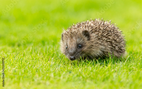 Cuadros en Lienzo Hedgehog, young, wild, native hedgehog in natural garden habitat on green grass lawn and facing forwards