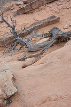 Dead, Decayed Tree In Rocky Hi...