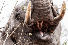 Head Of An Eating Elephant With Tusks And Open Mouth