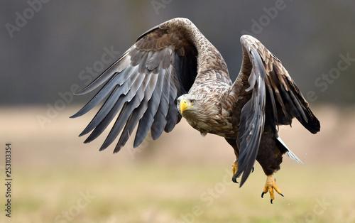 Poster Aigle White tailed eagle (Haliaeetus albicilla)