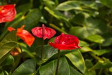 Tropical Anthurium Plant, Beau...