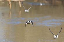Goldeneye Flying Over The Water In Spring