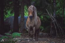 Häst I Skogen