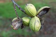 Pod Of Ripe Pecan Nuts On Bran...