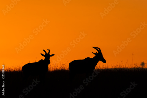 Garden Poster Brazil An african topi in silhouette grazing in the plains with a beautiful sunrise in the background in Masai mara National Reserve during a wildlife safari