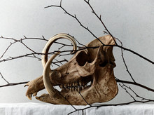 Branches Tangled In Babirusa S...