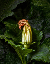 Withering Zucchini Flower