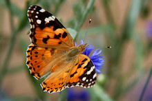 Painted Lady Butterfly (vanessa Cardui), Wings Opened, Feeding On Flower