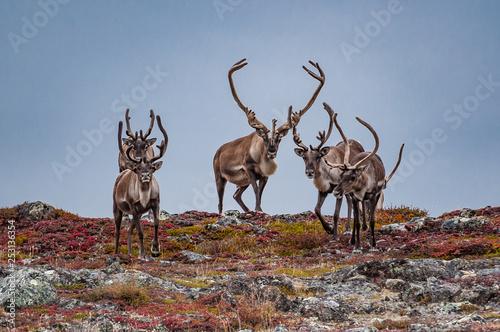 Obraz na plátně Caribou herd crosses ridgeline