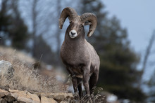 An Adult Male Bighorn Sheep ´...