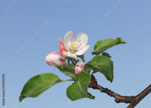 Obrazy kwiat jabłoni   makro-kwitnacej-galazki-jablka