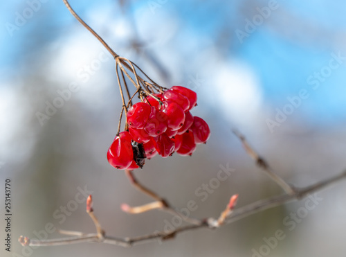 Fotografie, Obraz  Rowanberry fruits close up in the winter season with nice blue sky and high mountains in the background