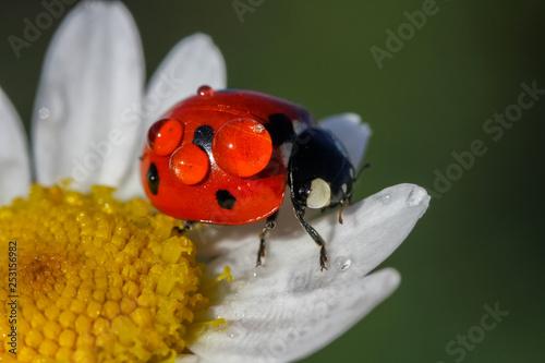 ladybug 15 Fotobehang