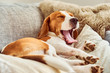 Beagle tired sleeping on couch yawning