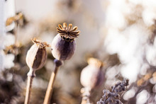 Dry Poppy Heads And Other Dried Flowers, Vintage Colors, Macro Background