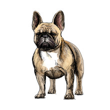 Beautiful French Bulldog