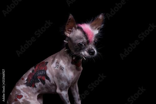 Fotografie, Obraz  Punk style peruvian hairless and chihuahua mix dog with tattoo on black