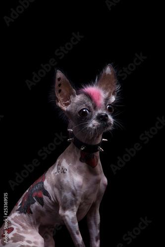 Punk Style Peruvian Hairless And Chihuahua Mix Dog With Tattoo On