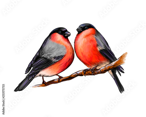 Photo A pair of beautiful winter birds bullfinches on white background, hand drawn ske