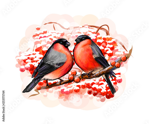 Fotografiet A pair of beautiful winter birds bullfinches on white background, hand drawn ske