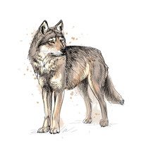 Portrait Of A Wolf From A Spla...