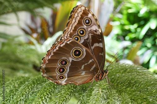 Blue Morpho Butterfly Closed wings