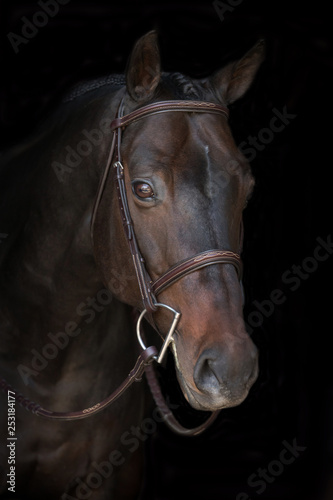 close up of dark bay horse with bridle on a black background
