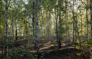 Koncepcja przyrody i krajobrazu: widok brzozowego lasu rano.
